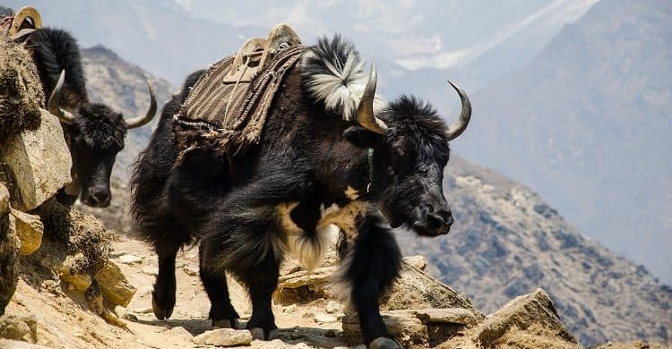Trekking al campo base Everest, Nepal.